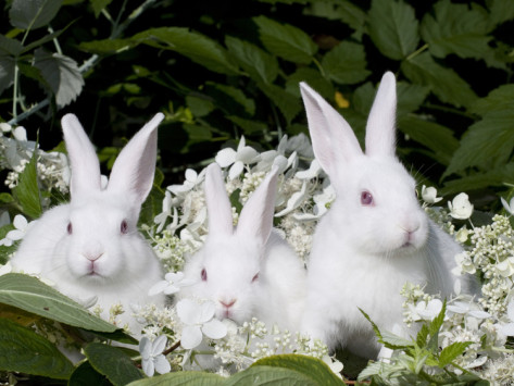 white-rabbits