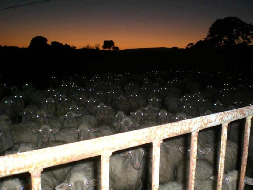 Sheeples No More!